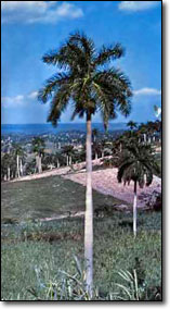 The Royal palm, the cuban national tree