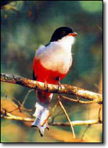 Cuban trogon (Priotelus temnurus) Cuba's National Bird